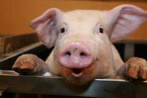 Так ли грязны свиньи